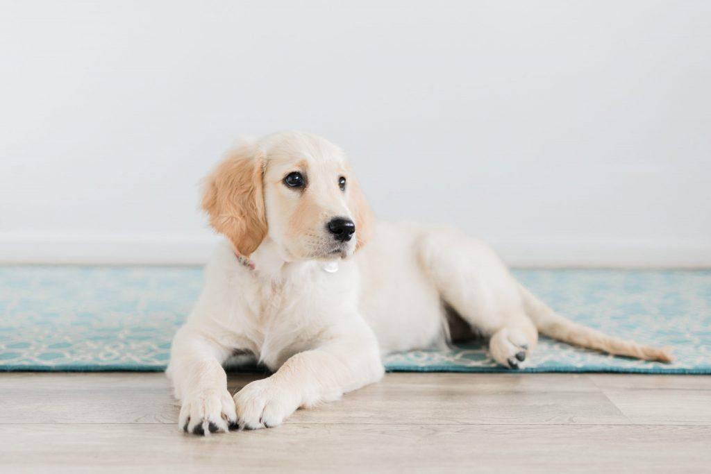 Fotoshoot Golden Retriever puppy